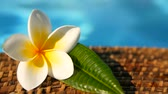плюмерия : Fresh white frangipani plumeria tropical exotic flowers over blue swimming pool water, background spa still life, travel and tourism, concept of a summer paradise vacation and aroma relaxation. Стоковые видеозаписи