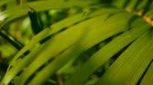 brilhantemente : Blur tropical green palm leaf with sun light, abstract natural background with bokeh. Defocused Lush Foliage, veines, striped exotic fresh juicy leaves in shadow. Ecology, summer and vacation concept. Stock Footage