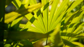 klorofil : Blur tropical green palm leaf with sun light, abstract natural background with bokeh. Defocused Lush Foliage, veines, striped exotic fresh juicy leaves in shadow. Ecology, summer and vacation concept. Stok Video