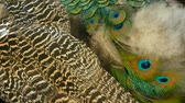 iridescente : Elegant wild exotic bird with colorful artistic feathers. Close up of peacock textured plumage. Flying Indian green peafowl (Pavo cristatus) in real nature, vibrant pattern of luminous tail and wings.