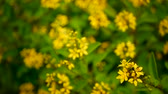 gałązka : Spring field of small yellow flowers of Galphimia. Evergreen shrub of star-shaped Golden Thryallis glauca. Ornamental bloom in natural sunlight of Gold Shower. Summer meadow background, soft focus.
