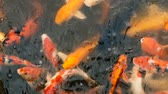 feeding fish aquarium : Natural background, aquarium close up. Vibrant Colorful Japanese Koi Carp fish swimming in traditional garden pond. Chinese Fancy Carps under water surface. Oriental symbols of fortune and good luck.