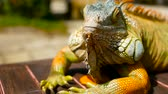 vertebre : Sleeping dragon. Close-up portrait of a resting vibrant Lizard. Selective focus. Green Iguanas are native to tropical areas of Mexico, Central America, South America, and the Caribbean Vidéos Libres De Droits