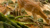 raiz : Wildlife scene. Beautiful young fallow whitetail deer, wild mammal animal in forest surrounding. Spotted, Chitals, Cheetal, Axis, Cervus nippon or Japanese deer grazing in natural habitat in the sun. Stock Footage