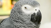 papagaio : Red-tailed monogamous African Congo Grey Parrot, Psittacus erithacus. Companion Jaco is popular avian pet native to equatorial region. Exotic bird in tropical forest.