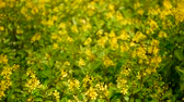 grown : Spring field of small yellow flowers of Galphimia. Evergreen shrub of star-shaped Golden Thryallis glauca. Ornamental bloom in natural sunlight of Gold Shower. Summer meadow background, soft focus.