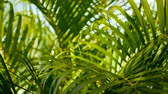 tropical climate : Blur tropical green palm leaf with sun light, abstract natural background with bokeh. Defocused Lush Foliage, veines, striped exotic fresh juicy leaves in shadow. Ecology, summer and vacation concept. Stock Footage
