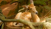 srna : Wildlife scene. Beautiful young fallow whitetail deer, wild mammal animal in forest surrounding. Spotted, Chitals, Cheetal, Axis, Cervus nippon or Japanese deer grazing in natural habitat in the sun. Dostupné videozáznamy