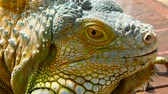 ještěrka : Sleeping dragon. Close-up portrait of a resting vibrant Lizard. Selective focus. Green Iguanas are native to tropical areas of Mexico, Central America, South America, and the Caribbean Dostupné videozáznamy