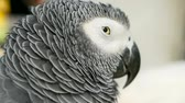 papuga : Red-tailed monogamous African Congo Grey Parrot, Psittacus erithacus. Companion Jaco is popular avian pet native to equatorial region. Exotic bird in tropical forest.