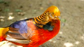 bażant : Magnificent elegant male of Chinese Red Golden pheasant, Chrysolophus Pictus outdoors. Dazzling Conspicuous Handsome wild exotic bird with Spectacular Plumage and Colorful tail Feathers in real nature