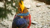 raro : Magnificent elegant male of Chinese Red Golden pheasant, Chrysolophus Pictus outdoors. Dazzling Conspicuous Handsome wild exotic bird with Spectacular Plumage and Colorful tail Feathers in real nature