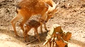 fawn : Wildlife scene. Beautiful young fallow whitetail deer, wild mammal animal in forest surrounding. Spotted, Chitals, Cheetal, Axis, Cervus nippon or Japanese deer grazing in natural habitat in the sun. Stock Footage