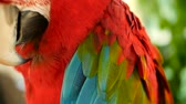 escarlate : Close up of Red Amazon Scarlet Macaw parrot or Ara macao, in tropical jungle forest. Wildlife Colorful selective focus portrait of bird with vibrant feathers from exotic nature. Vídeos