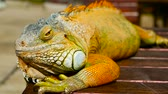 jaszczurka : Sleeping dragon. Close-up portrait of a resting vibrant Lizard. Selective focus. Green Iguanas are native to tropical areas of Mexico, Central America, South America, and the Caribbean Wideo