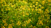 cachos : Spring field of small yellow flowers of Galphimia. Evergreen shrub of star-shaped Golden Thryallis glauca. Ornamental bloom in natural sunlight of Gold Shower. Summer meadow background, soft focus.