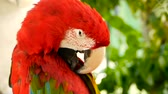 papoušek : Close up of Red Amazon Scarlet Macaw parrot or Ara macao, in tropical jungle forest. Wildlife Colorful selective focus portrait of bird with vibrant feathers from exotic nature. Dostupné videozáznamy