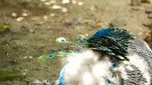 pavo cristatus : Elegant wild exotic bird with colorful artistic feathers. Close up of peacock textured plumage. Flying Indian green peafowl (Pavo cristatus) in real nature, vibrant pattern of luminous tail and wings.