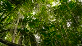 кора : Wild, vivid vegetation of deep misty tropical forest. Jungle landscape. Interior of exotic asia woods. Mossy lianas dangling from the rainforest canopy. Green natural background of subtropical forest.