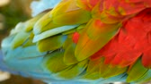 macaw parrot : Close up of Red Amazon Scarlet Macaw parrot or Ara macao, in tropical jungle forest. Wildlife Colorful selective focus portrait of bird with vibrant feathers from exotic nature. Stock Footage