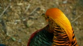 phasianidae : Magnificent elegant male of Chinese Red Golden pheasant, Chrysolophus Pictus outdoors. Dazzling Conspicuous Handsome wild exotic bird with Spectacular Plumage and Colorful tail Feathers in real nature