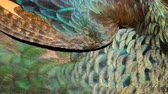 páva : Elegant wild exotic bird with colorful artistic feathers. Close up of peacock textured plumage. Flying Indian green peafowl (Pavo cristatus) in real nature, vibrant pattern of luminous tail and wings.