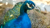 bażant : Elegant wild exotic bird with colorful artistic feathers. Close up of peacock textured plumage. Flying Indian green peafowl (Pavo cristatus) in real nature, vibrant pattern of luminous tail and wings.