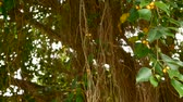 figa : Brown long aerial roots of big Indian banyan tree hanging down in sunlight and wind. Green leaves with yellow fruits and bokeh, blurred copy space. Natural abstract background. Tropical jungle forest. Wideo