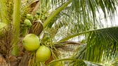 demet : Close-up of exotic green palm tree leaves with cluster of young fresh round coconut fruit with milk inside. Natural texture. Tropical symbol. Summer evergreen plant. Healthy organic vegetarian food. Stok Video