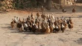 kuş sürüsü : Big group of domesticated ducks running across stone yard in sunlight. Nepal