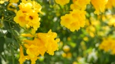 crescido : Beautiful yellow flowers in bunches on the branches of a bush. Natural floral background. Spring mood, sunny and bright contrast of colors, tropical exotic plants with green leaves from paradise Vídeos