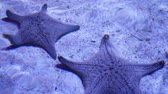 maravilha : Ocean tropical exotic Starfish on aquarium bottom. Closeup two amazing sea starfish lying on sandy bottom in clean aquarium water Stock Footage