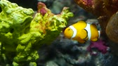 maravilha : Clownfish near coral in aquarium. Small clownfish swimming near various majestic corals on black background in aquarium water. Marine underwater tropical exotic life natural background. Stock Footage
