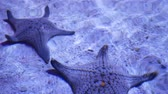 denizyıldızı : Ocean tropical exotic Starfish on aquarium bottom. Closeup two amazing sea starfish lying on sandy bottom in clean aquarium water Stok Video