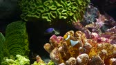 Clownfish near coral in aquarium. Small clownfish swimming near various majestic corals on black background in aquarium water. Marine underwater tropical exotic life natural background. 무비클립