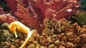 Seahorse amidst corals in aquarium. Closeup seahorse swimming near wonderful corals in clean aquarium water. Marine underwater tropical exotic life natural background.