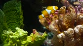 장벽 : Clownfish near coral in aquarium. Small clownfish swimming near various majestic corals on black background in aquarium water. Marine underwater tropical exotic life natural background. 무비클립