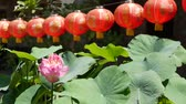flor de loto : Red paper lanterns hanging in temple yard on sunny day between juicy greenery in oriental country. traditional chinese new year decoration. Pink lotus flower with green leaves as symbol of Buddhism Archivo de Video