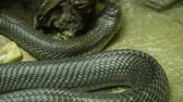 mérgező : Majestic poisonous snake with dark skin. Beautiful Monocled king cobra with black skin on rock in terrarium cage. Stock mozgókép