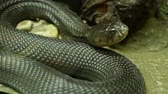 roi : Majestic poisonous snake with dark skin. Beautiful Monocled king cobra with black skin on rock in terrarium cage. Vidéos Libres De Droits