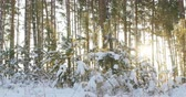 trough : Tall pine trees in the winter forest with sun rays 4k