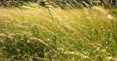 windy : Beautiful long grass moving in wind. Meadow grass background.