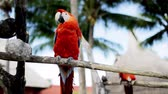 живая природа : nature and wild birds concept - close up of two red parrots sitting on perch