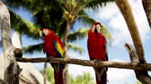 poleiro : nature and wild birds concept - close up of two red parrots sitting on perch