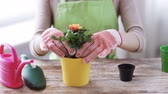 cultivado : people, gardening, flower planting and profession concept - close up of woman or gardener hands planting roses to flower pot at home Vídeos