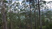 manzara : nature, flora and summer concept - eucalyptus or gum-tree in sri lanka forest
