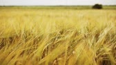 autumn : cereal field with spikelets of ripe rye or wheat
