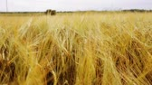 ziarno : cereal field with spikelets of ripe rye or wheat
