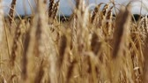 gwóżdź : cereal field with spikelets of ripe rye or wheat