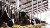 agricultura : herd of cows eating hay in cowshed on dairy farm Stock Footage